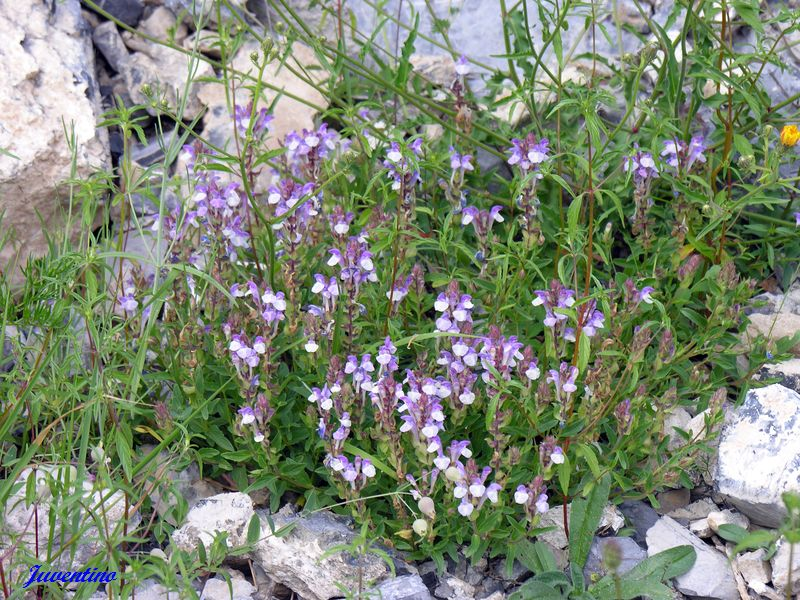 Scutellaria alpina